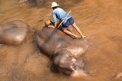 Elefanter i det Maesa elefantlägret, Thailand Royaltyfri Fotografi