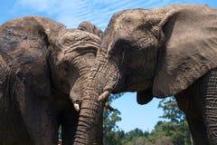 Elefanter i det wild Fotografering för Bildbyråer