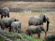 Elefanter i en flodsäng Royaltyfri Foto
