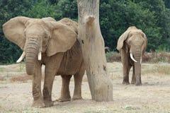 Elefanter i en safari parkerar Arkivfoton