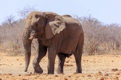 Elefanter i Etosha parkerar Namibia Arkivbilder