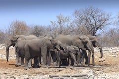 Elefanter i Etosha parkerar Namibia Fotografering för Bildbyråer