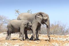 Elefanter i Etosha parkerar Namibia Arkivfoton