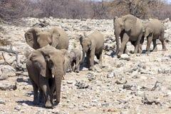 Elefanter i Etosha parkerar Namibia Royaltyfri Bild