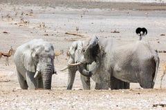 Elefanter i Etosha parkerar Namibia Royaltyfri Foto