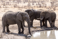 Elefanter i Etosha parkerar Namibia Royaltyfria Bilder