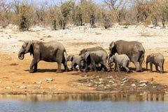 Elefanter i Etosha parkerar Namibia Arkivfoto