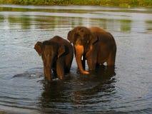 2 elefanter i floden Arkivbild