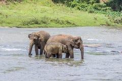 Elefanter i floden Maha Oya på pinnawalaen Royaltyfria Bilder