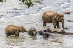 Elefanter i floden Maha Oya på pinnawalaen Royaltyfri Bild