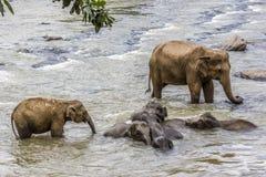 Elefanter i floden Maha Oya på pinnawalaen Fotografering för Bildbyråer