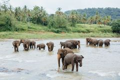 Elefanter i floden Sri Lanka Grupp av elefanter som bevattnar badning i en tropisk flod Pinnawala Arkivfoton