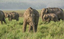 Elefanter i grässlätt Arkivbilder