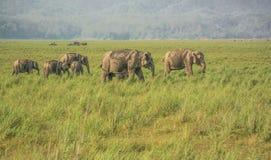 Elefanter i grässlätt av dikalaen Royaltyfria Foton