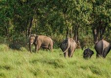 Elefanter i grsasland Royaltyfri Foto