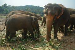 Elefanter i Kandy, Sri Lanka arkivbild
