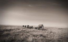 Elefanter i linje Arkivbilder