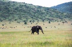 Elefanter i Maasai Mara, Kenya Fotografering för Bildbyråer