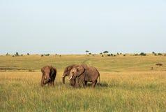 Elefanter i Maasai Mara, Kenya Arkivfoto