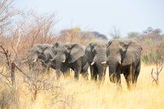 Elefanter i Mahango NR Arkivbild