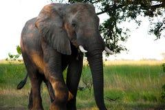 Elefanter i Moremi GR - den Okavango deltan - Botswana Royaltyfri Bild