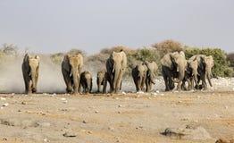 Elefanter i savannahen av den Etosha nationalparken Arkivbild