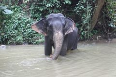 Elefanter i Sri Lanka Arkivfoto