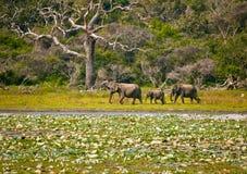 Elefanter i Sri Lanka Arkivbilder