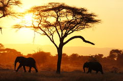 Elefanter i Tarangire NP Tanzania under solnedgång royaltyfri bild