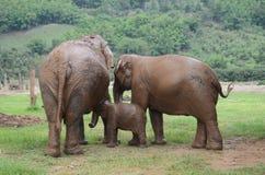 Elefanter i Thailand Royaltyfri Foto