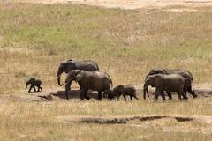 Elefanter i Tsavo öst parkerar arkivfoton