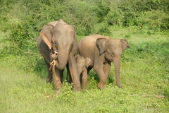 Elefanter i udawalawenationalpark Royaltyfria Bilder
