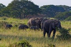 Elefanter i Uganda Afrika Royaltyfri Bild