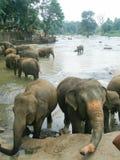 Elefanter i vattnet bland de steniga kusterna Royaltyfri Foto