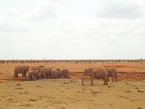 Elefanter i vildmarken royaltyfri foto