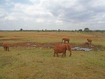 Elefanter i vildmarken arkivbild