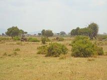 Elefanter i vildmarken arkivbilder