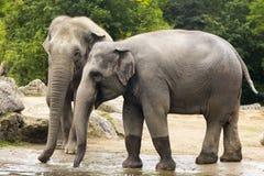 Elefanter i zoo Fotografering för Bildbyråer