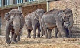 Elefanter i ZOO Arkivfoton