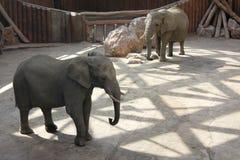Elefanter i ZOO i Poznan, Polen Royaltyfri Fotografi