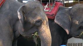 Elefanter i zoo med en vagn på baksidan äter thailand askfat lager videofilmer