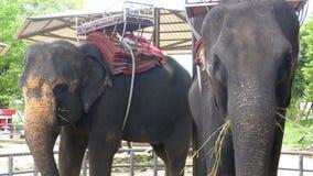 Elefanter i zoo med en vagn på baksidan äter thailand askfat arkivfilmer