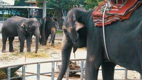 Elefanter i zoo med en vagn på baksidan äter thailand askfat stock video
