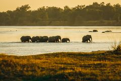 Elefanter korsar den Luangwa floden arkivfoton