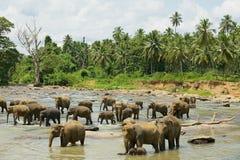 Elefanter korsar floden i Pinnawala, Sri Lanka Royaltyfri Fotografi