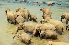 Elefanter korsar floden i Pinnawala, Sri Lanka Royaltyfri Bild