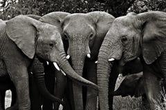 Elefanter Kruger nationalpark fotografering för bildbyråer