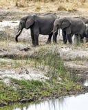 Elefanter med två Vervet apor i förgrunden Arkivfoto