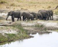 Elefanter med två Vervet apor i förgrunden Royaltyfri Foto