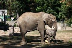 Elefanter med vattenmelon Arkivfoto